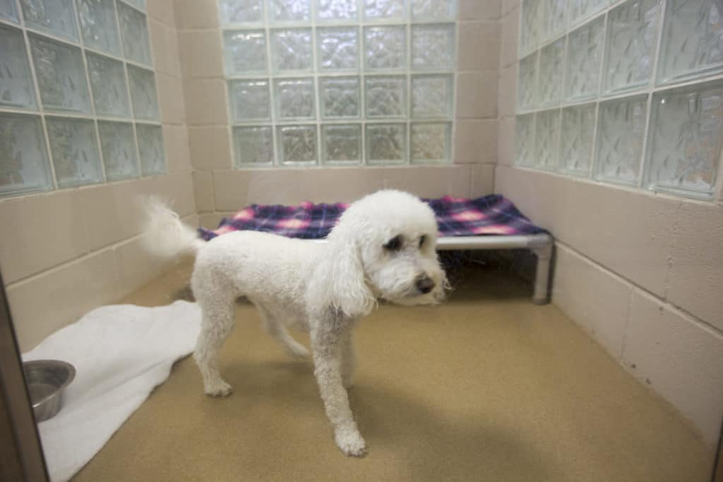 A Poodle in a Pet Boarding Room