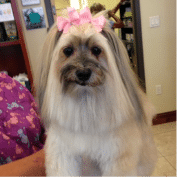 Long Haired Dog with a Bow