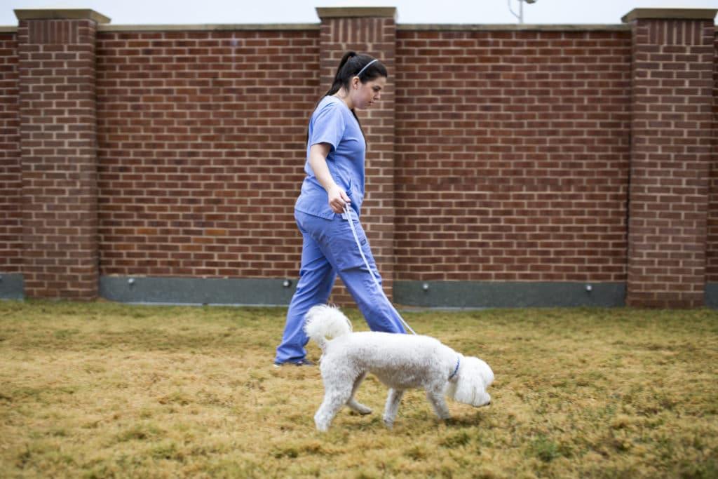 Woman Walking a Poodle