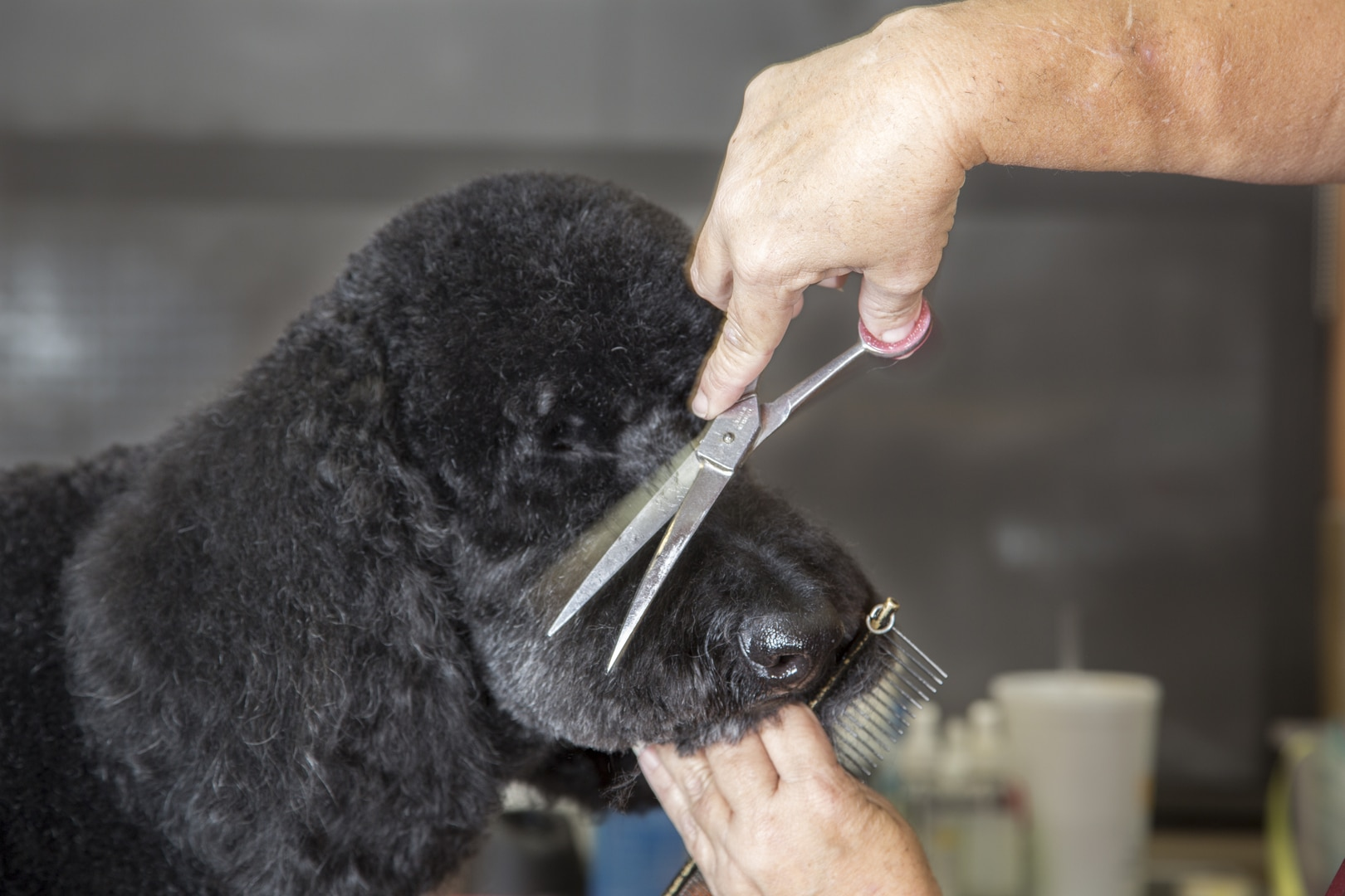 Grooming a Black Dog Close Up